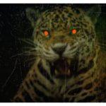 怪奇大作戦 第11話あらすじ感想!「ジャガーの眼は赤い」