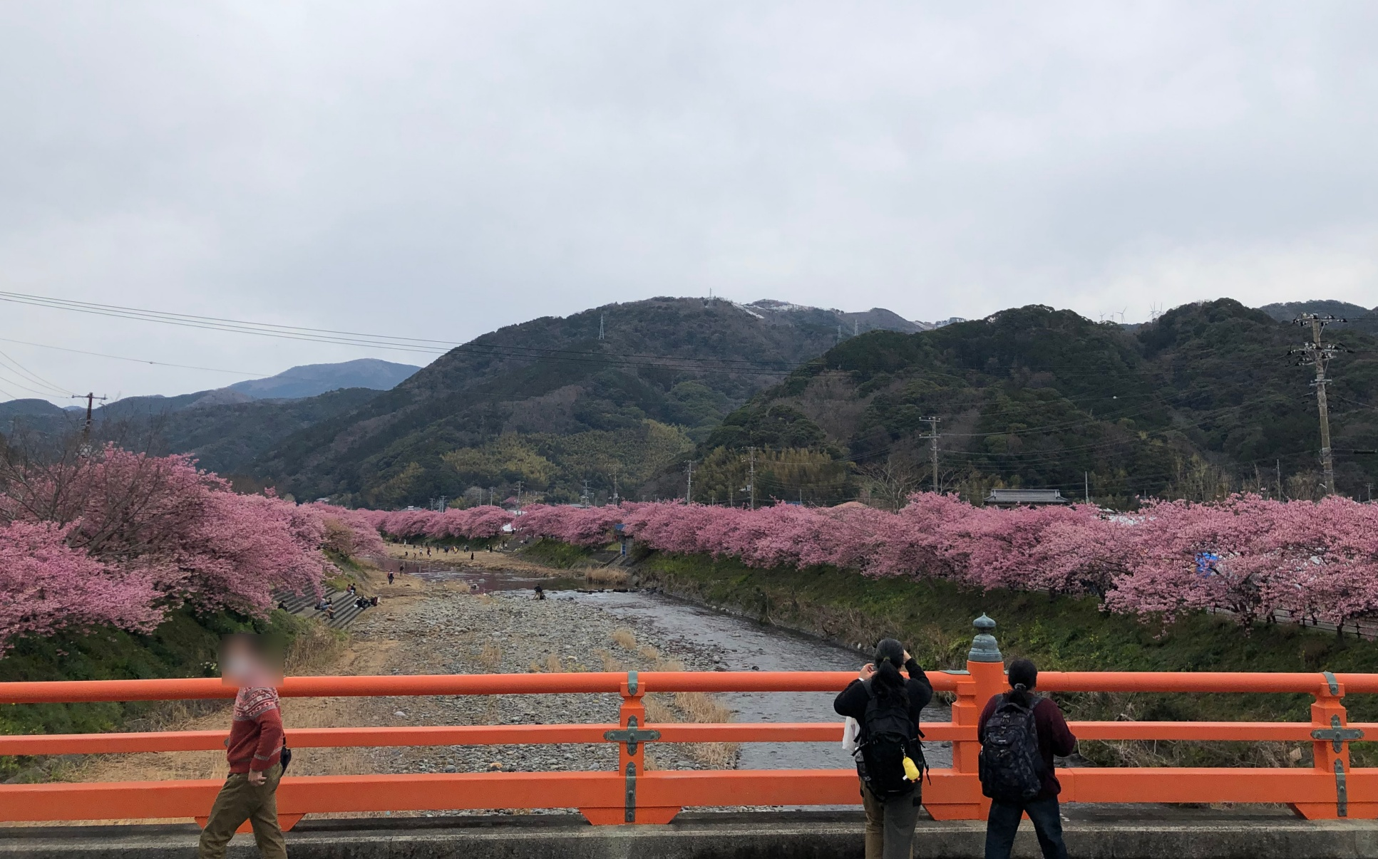 駐 まつり 河津 車場 桜